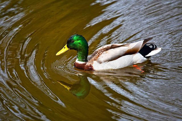 Duck, Mallard, Drake, Bird, Water Bird, Wildlife, Water