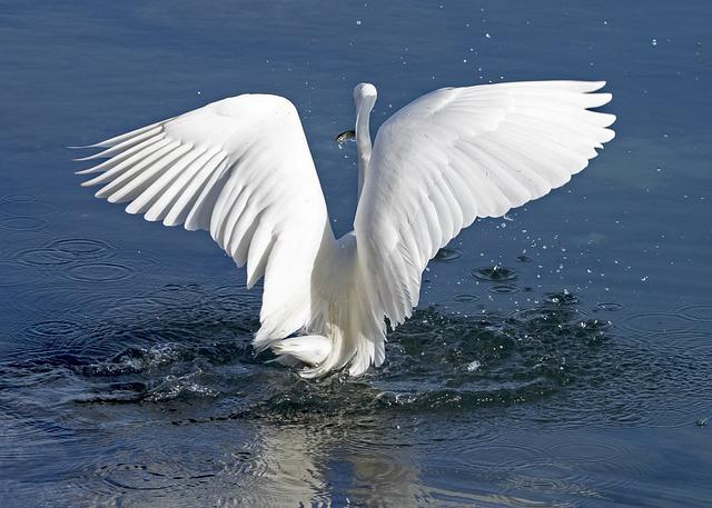 Heron, White, Bird, Nature, Water, Animal, Wildlife
