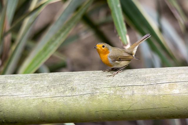 Robin, Bird, Nature, Wildlife, Red, Feather, Redbreast