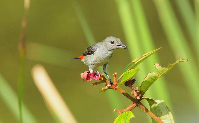 Scarlet-flowerpecker Female, Nature, Bird, Wildlife