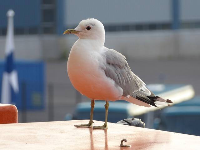 Kittiwake, Seaside, Bird, Nature, Coast, Wildlife