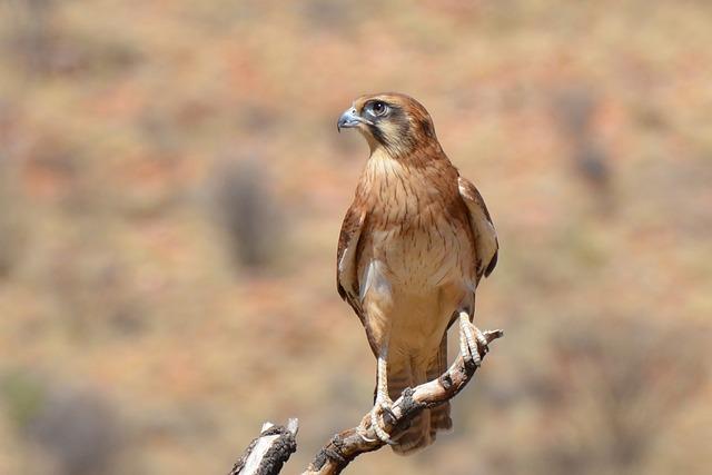 Brown Falcon, Falcon, Bird, Wildlife, Predator