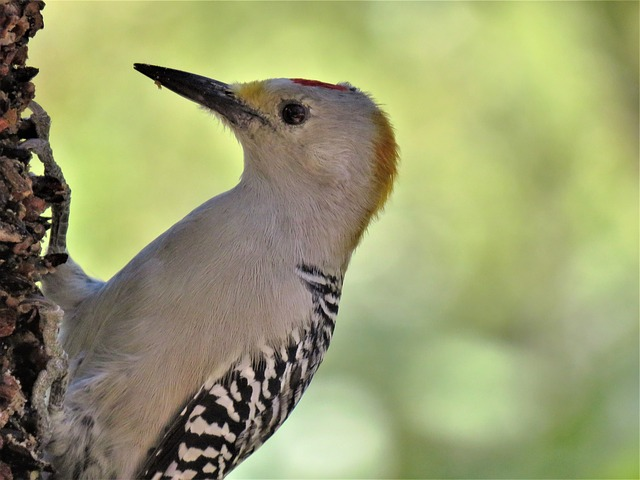 Bird, Woodpecker, Up Close, Wildlife