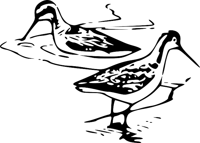 Phalarope, Bird, Shorebird, Phalaropus, Wildlife, Wader