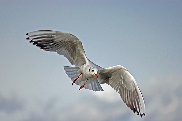 Seagull, Bird, Wings, Flying, Air, Flight, Soaring