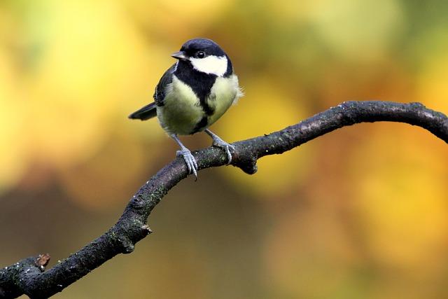 Bird, Wings, Great Tit, Autumn