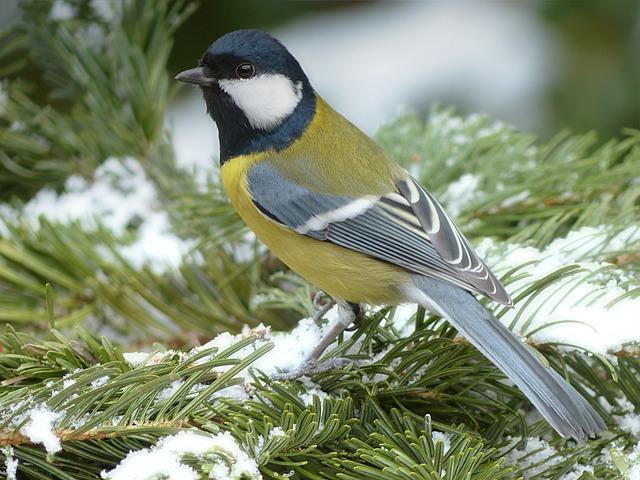 Tit, Parus Major, Bird, Winter, Garden, Foraging
