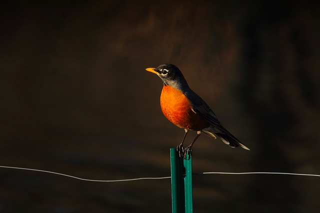 American Robin, Bird, Wildlife, Fence, Wire, Perched