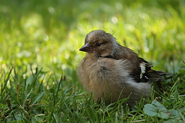 Chaffinch, Fringilla Coelebs, Bird, Young, Foraging