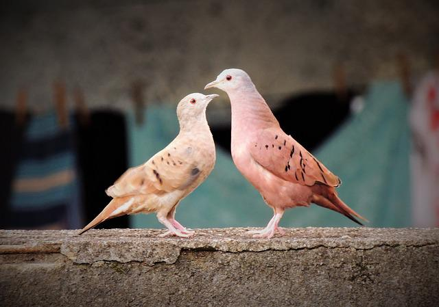 Ruddy Ground Dove, Weasels, Birdie, Bird, Couple Birds