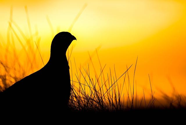 Grouse, Sunrise, Scotland, Birding, Wilderness, Early