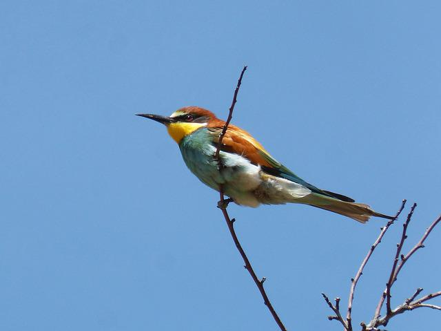 Bee-eater, Ave, Branch, Abellarol, Birds, Wild Life