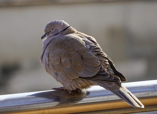 Birds, Nature, Animalia, Wild Life, Pen, Paloma, Brown