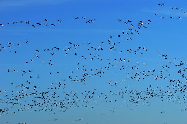 Birds, Geese, Migratory Birds, Animals, Nature