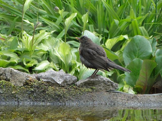 Blackbird, Bird, Birds, Black, Blackbirds, Animal, Bank