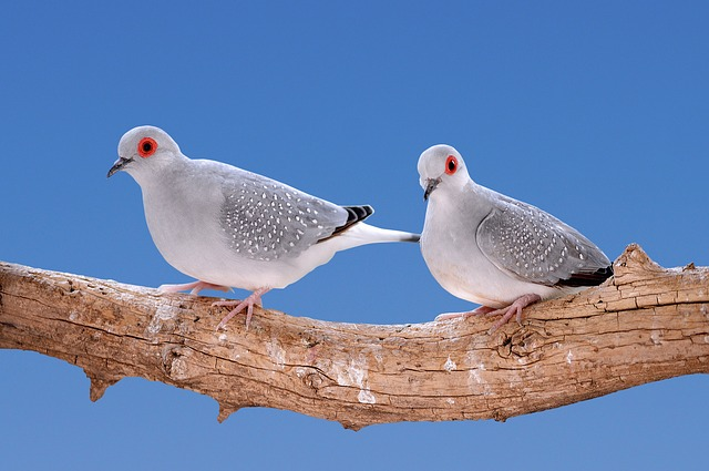 Mourning Doves Diamond, Turtledoves, Birds, Bird