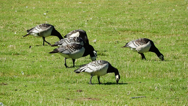 Canada Goose, Branta Leucopsis, Goose, Birds, Ducks