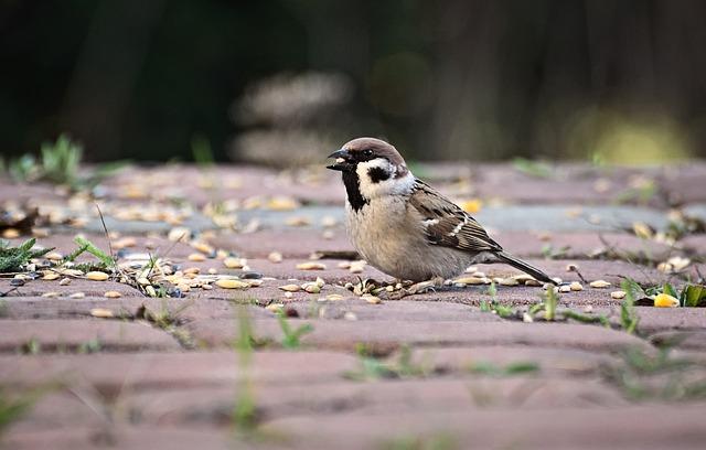 The Sparrow, Breakfast, Meal, Grain, Birds, Nature