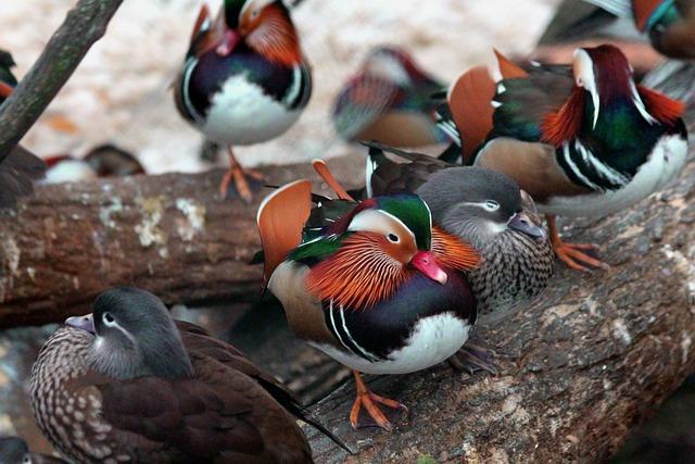 Mandarin Duck, Duck, Aix Galericulata, Birds