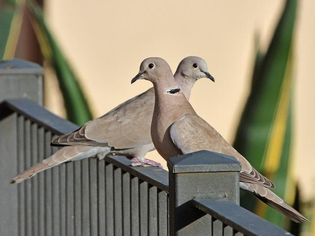 Birds, Turtledoves, Eurasian Collared Dove, Couple