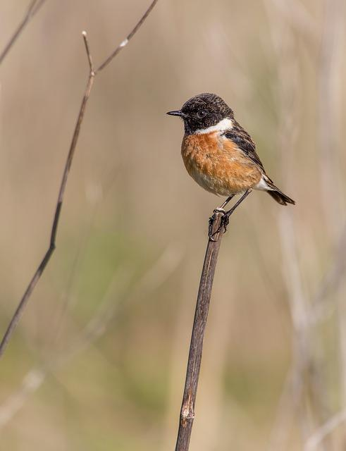 Bird, Ave, Feathers, Letdown, Stonechat, Birds, Animals