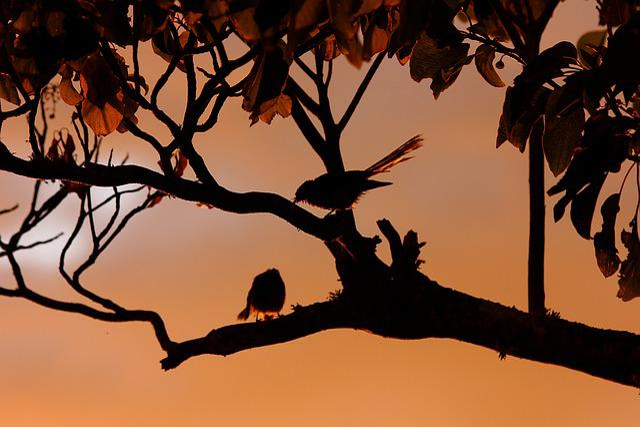 New Zealand Fantail, Birds, Silhouette, Glow, Sunset