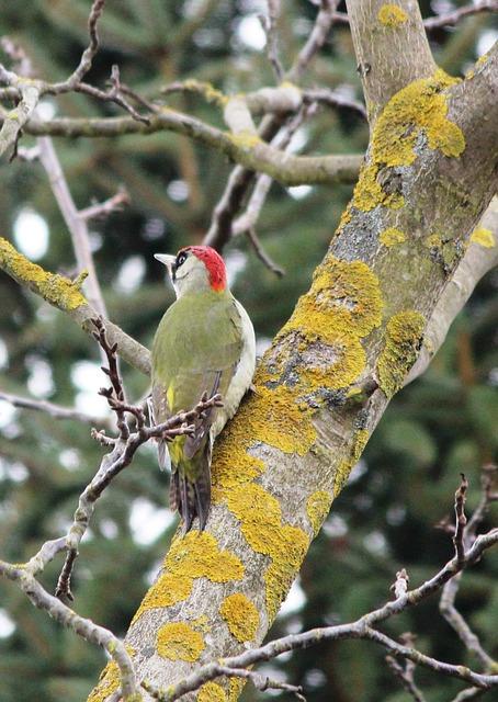Green Woodpecker, Birds, Spring, Balz, Woodpecker, Tree