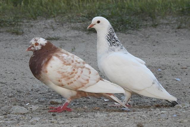 Pigeons, Dove, Birds, Bird, Nature, Beak, Pen, Spring