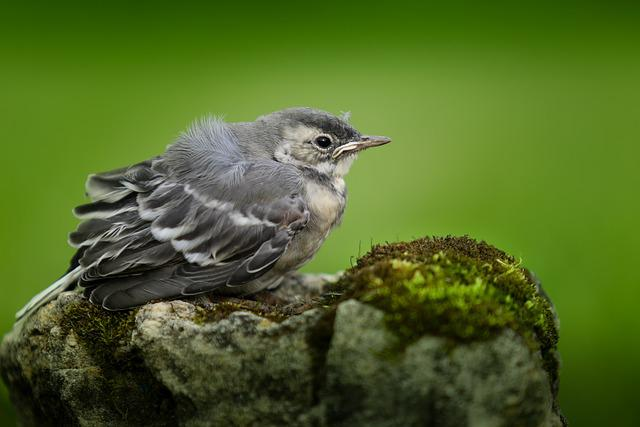 Wagtail, Chick, Birds, Furry, Summer, Nature, Young