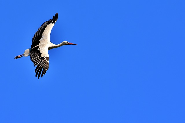 Stork, Flying, Wing, Birds, Plumage, Nature, Animals