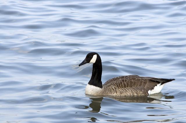 Goose, Nature, Wildlife, River, Water, Birds, Animals