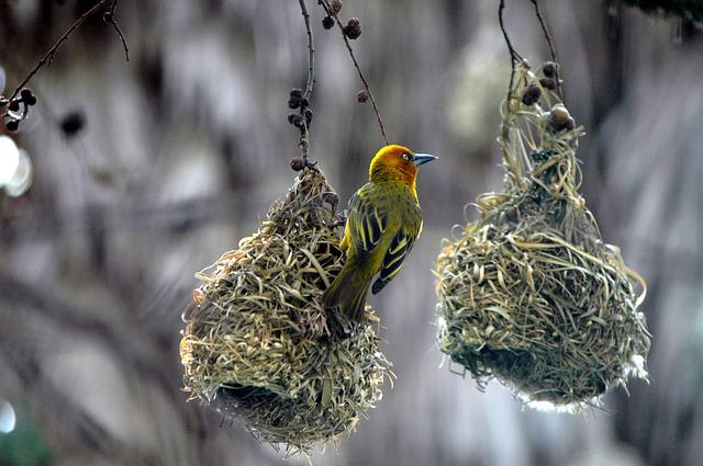 Birds Nests, Swallow, Nature