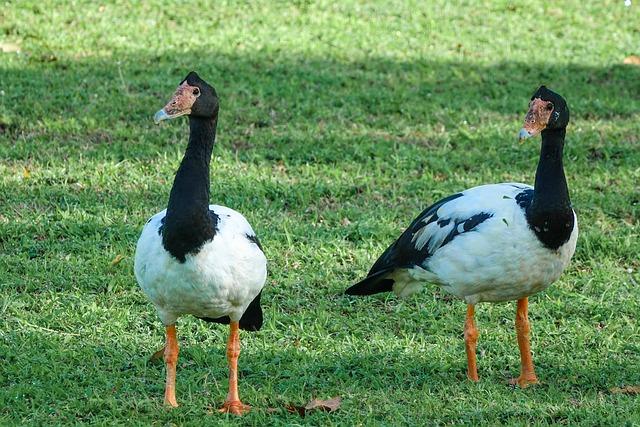 Magpie Goose, Birds, Australia, Northern Territory