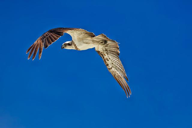 Birds Of Prey, Flight, Osprey, A Sharp Eye, Blue Sky