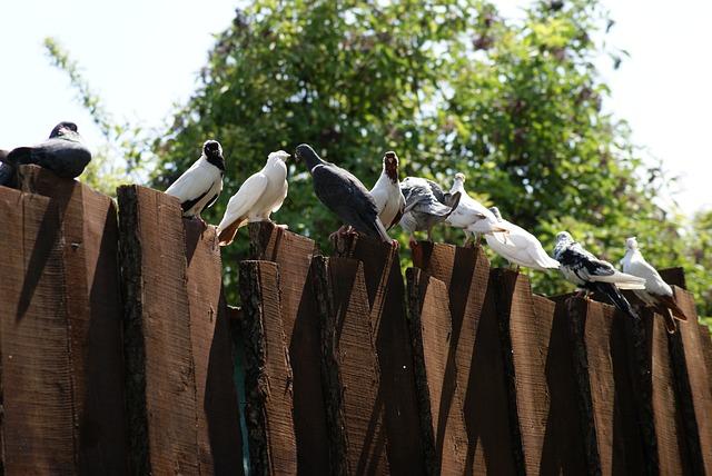 Pigeons, The Dovecote, Birds, Ornithology