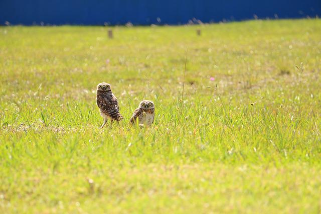 Owls, Landscape, Birds