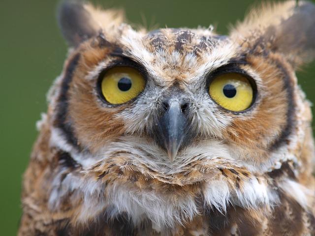 Owls, Birds, Raptor