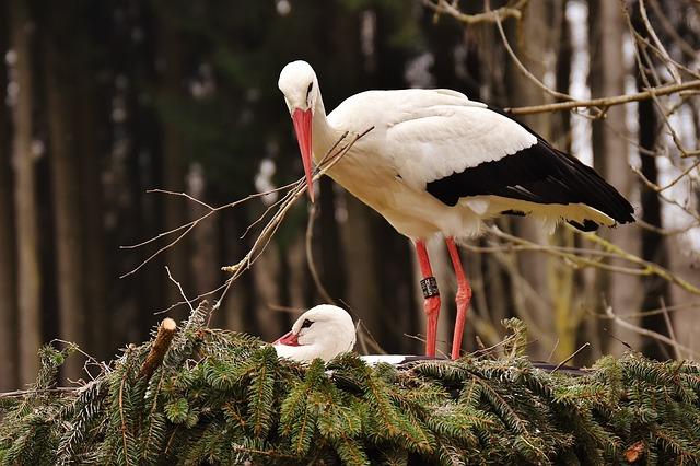 Storks, Nest Building, Pair, Birds, Nest, Build