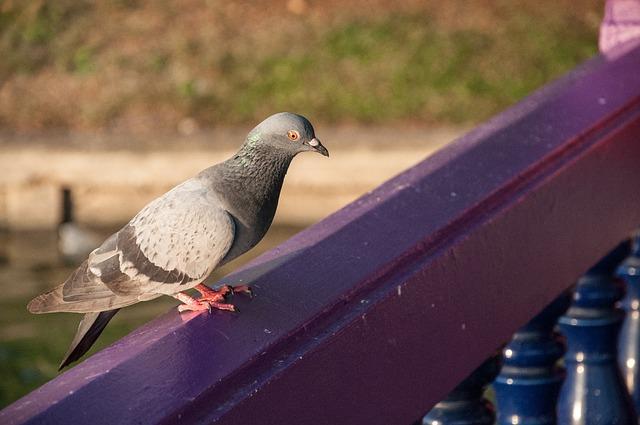 Birds, Pigeon