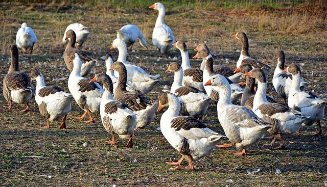 Geese, Goose-char, Birds, Poultry, Animals