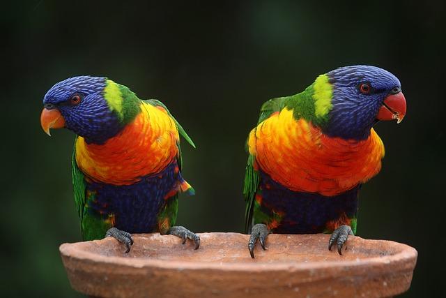Rainbow Lorikeets, Parrots, Pair, Birds, Colorful