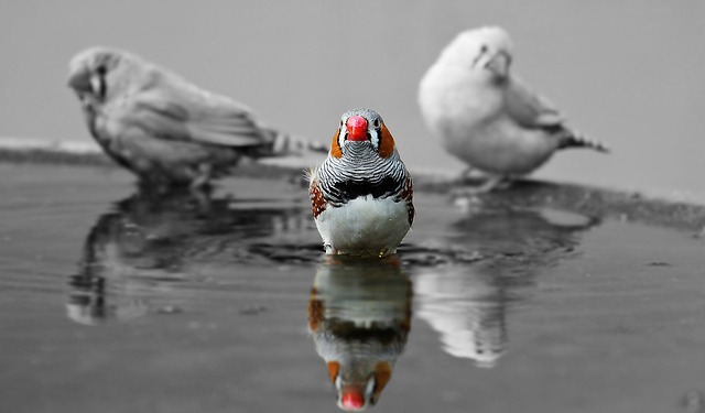 Zebra Finch, Birds, Red Beak, Water Bottle, Bill, Red