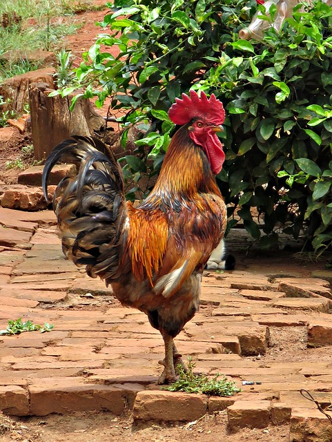 Birds, Cock, Chicken, Farm, Poultry, Rural