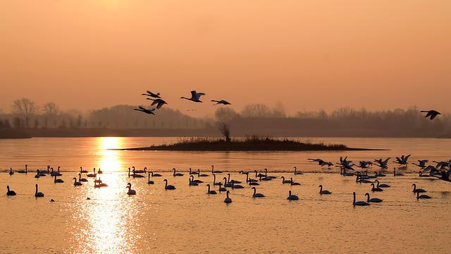 Landscape, Winter, Morning Sun, Sunrise, Birds, Swans