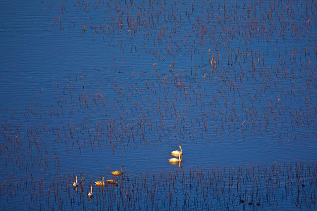 Swan, Twilight, Home, Lake, Natural Wind, Birds