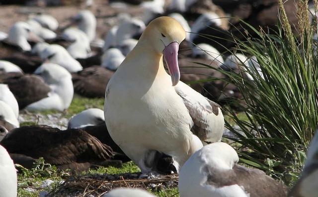 Hatches, Chick, Tailed, Short, Albatross, Birds