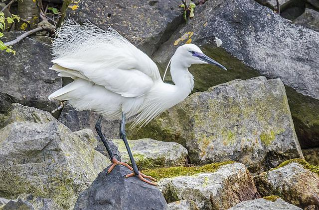 Little Egret, Nature, Birds, Waterfront