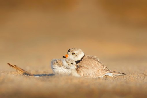 Birds, Chick, Mother, Wildlife, Protection, Beach, Sand