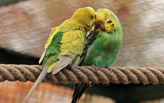 Budgerigars, Birds, Green, Yellow, Green Yellow