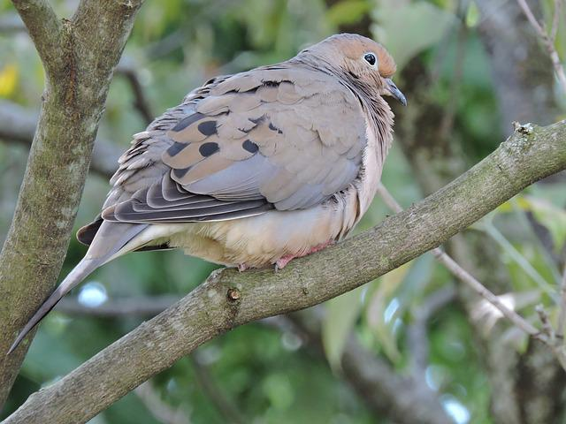 Mourning Dove, Doves, Birds, Perched, Birdwatching